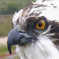 Dyfi's breeding ospreys.