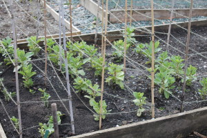 Over wintering broad beans.